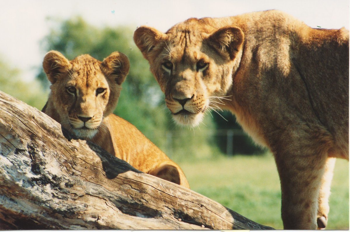 Female lions in the park