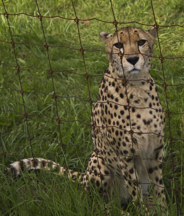 Cheetah_look.Credit.Brian Douglas