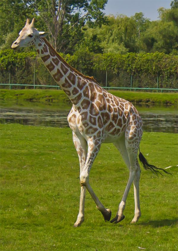 Giraffe_013.Credit.Brian Douglas