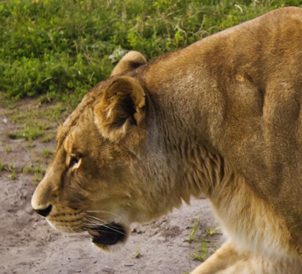 Lioness_Head.Credit.Brian Douglas