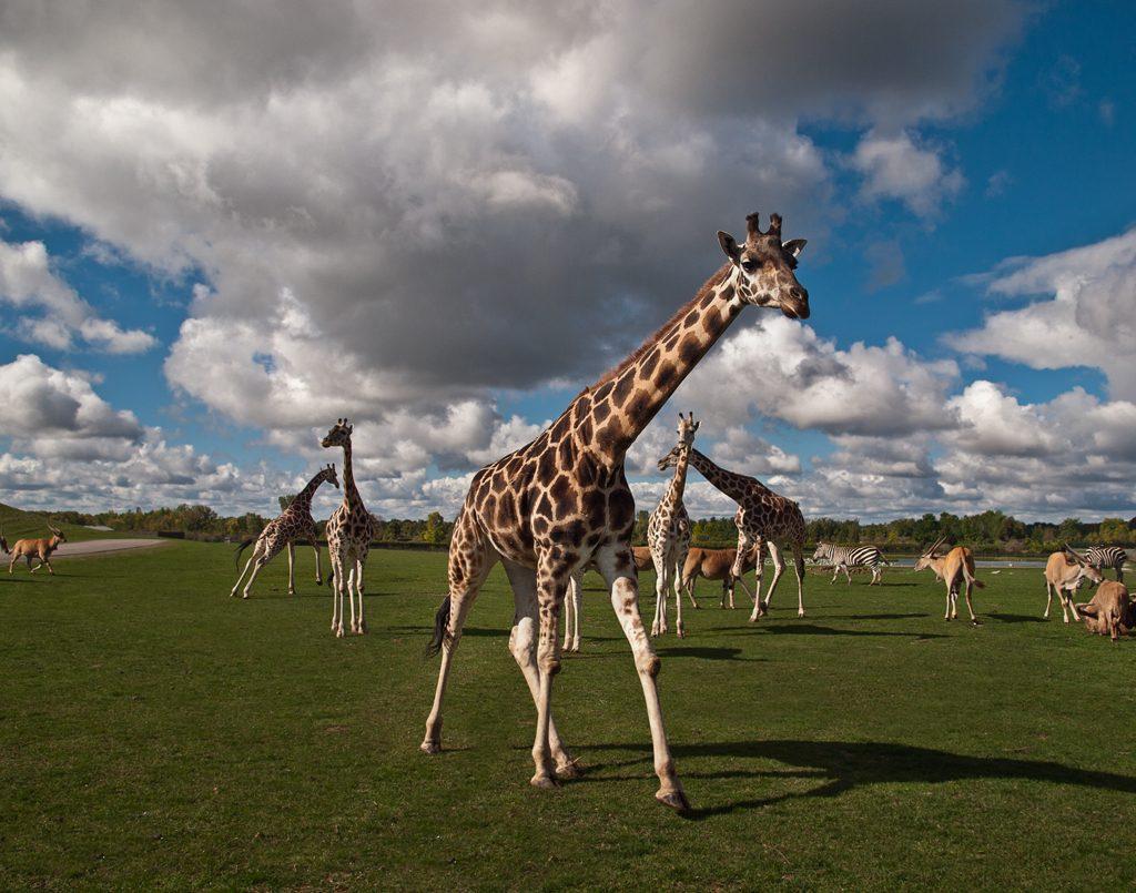 Giraffes at African Lion Safari