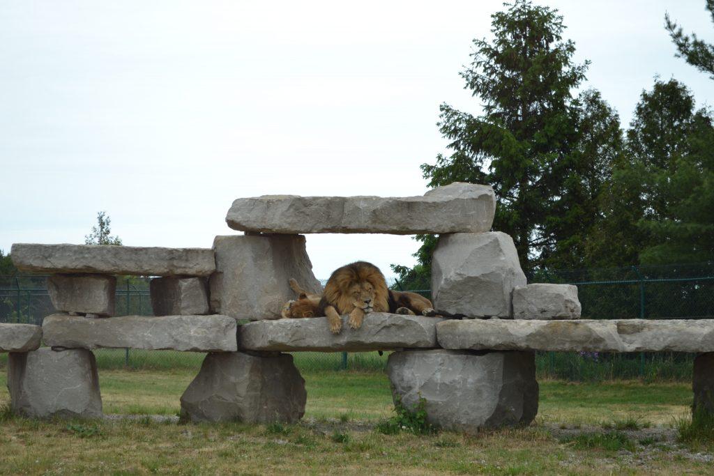 Lion lounging on rocks at African Lion Safari