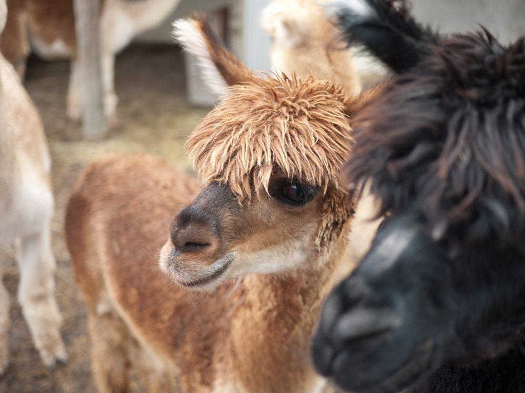 Alpacas-July Farm Crawl